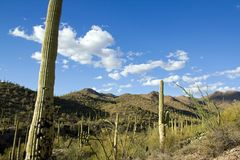 Park Saguaro, dichtbij Tucson in Arizona - de V.S. royalty-vrije stock afbeeldingen