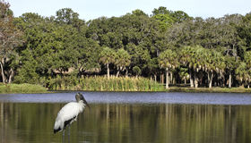 Park scene with wood stork Royalty Free Stock Images
