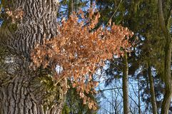 Park Schöne alte Tannenbäume stockbilder