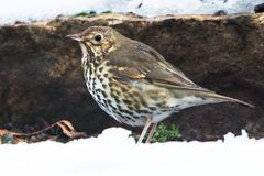Song Thrush, Turdus philomelos. Park songbird - Song Thrush, Turdus philomelos Stock Image