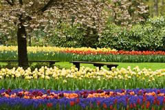 Park in spring. With blooming tree, tulips and benches Royalty Free Stock Images
