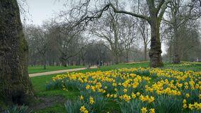 Park Scene With Many Daffodils In The Springl. Park in the spring with lots of daffodils by the trees stock video