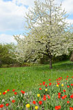 Park in springtime with tulips on meadow and cherry tree Royalty Free Stock Images
