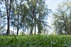 Park surrounded by sea oak tree, sunlight and green grass. In the morning Stock Images