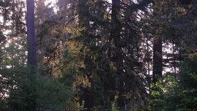 Park with tall trees. Bright and early in the morning stock footage