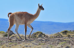 The park to Torres del Paine - a graceful guanacos Royalty Free Stock Photo