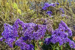 Park Trail Purple Flower Bush Blossoms. Closeup on a patch of bushes with bright purple flower blossoms against desert shrubs royalty free stock images
