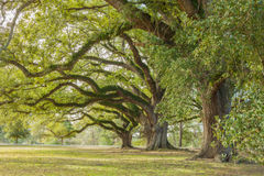 Park Tree 13. Old oak trees covered in moss in a city park Royalty Free Stock Image