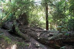 Park Trees of Mystery. Fallen giant tree in park Trees of Mystery in California, USA Royalty Free Stock Photos