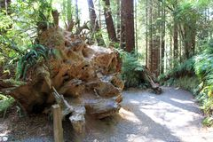 Park Trees of Mystery. Giant root in park Trees of Mystery in California, USA Royalty Free Stock Images