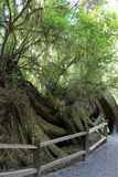 Park Trees of Mystery. Octopus tree in park Trees of Mystery in California, USA Stock Photography