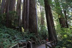 Park Trees of Mystery. Trail in park Trees of Mystery in California, USA Royalty Free Stock Photo