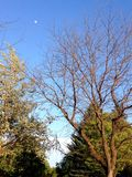 Park Trees and Sky with Moon. Spring Park Trees and Blue Sky with Moon Royalty Free Stock Photography
