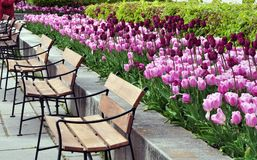 Park with tulips and benches. Purple tulips in a park with many benches royalty free stock image