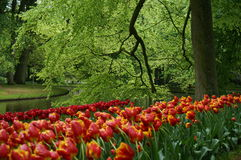 Park of tulips Stock Image