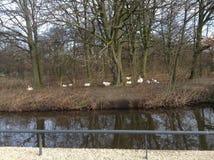 Park van zwanen in Den Haag Stock Fotografie