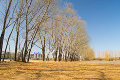 withered trees under blue sky Royalty Free Stock Image