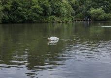 Park w Londyn, Anglia - słoneczny dzień; staw i łabędź zdjęcia stock