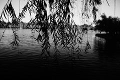 Park willow black and white lake. Black and white photography willow lake water park Stock Photography