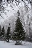 Park in winter. Alley with spruces covered with snow and poplars on the background.  royalty free stock image