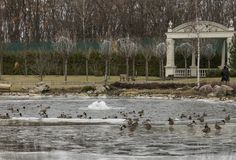 Park in winter and ducks, Uraine Royalty Free Stock Photography