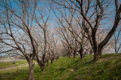 Park z pięknym kwitnieniem czereśniowi drzewa i ludzie Obrazy Stock