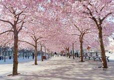 Park z pięknymi kwitnącymi czereśniowymi drzewami i ludźmi Zdjęcia Royalty Free