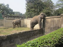 Parkelefant im Mysore-Zoo Stockfotografie