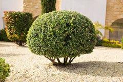 Parken Sie das pflanzen von den grünen Sträuchen, die durch eine runde Form geschoren sind Stockbilder