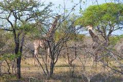 Parken wilde retikulierte Giraffe zwei und afrikanische Landschaft in nationalem Kruger in UAR Stockbild