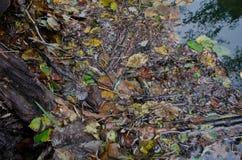 Parkera av Casentino skogar, grodan Dalmatina Royaltyfri Foto