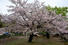 Parkera av den Nagasaki staden med sakura träd, Japan Fotografering för Bildbyråer