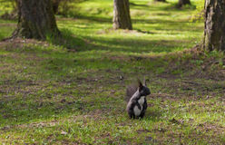 parkera ekorren Fotografering för Bildbyråer