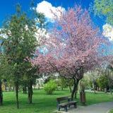 Parkera ganska bänken under körsbärsrött träd för blomning Arkivfoton