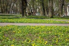 Parkera i blommorna av den Ficaria vernaen, svalörtblommor i tidig vår royaltyfria bilder