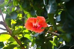 Parkera med den tropiska växten för den högkvalitativa hibiskusen, den Jeju ön, Korea, den vulkaniska ön Royaltyfri Foto