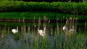 Parkera sjön med vita svanar royaltyfri bild