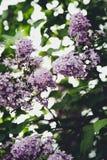 Parkera, trädet, härligt lila, våren, ljus som är varmt, blommor, blomman, magi, sommar Arkivfoton