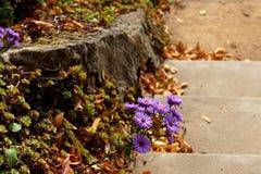 Parkera Zruc nad Sazavou - purpurfärgad aster royaltyfri foto