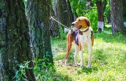 Parkerar den estländska hunden för hundavel i bundet till en tree_ arkivbilder