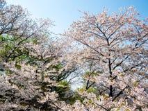 Parkerar den körsbärsröda blomningen för den blommande blomman på Namsan, Seoul, Sydkorea Bakgrund för blå himmel i sommarsäsong arkivbild