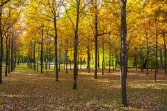 Parkerar den mogna hösten för den guld- nedgången i Pavlovsky, Pavlovsk, St Petersburg, Ryssland fotografering för bildbyråer