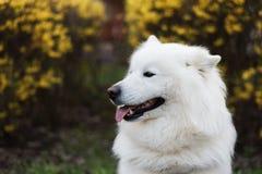 Parkerar den utomhus- ståenden för den vita Samoyedhunden i skog, arkivfoton