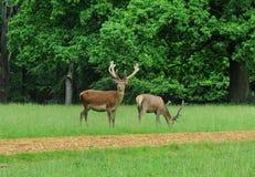parkerar engelska par för hjortar röda fullvuxen hankronhjort Arkivbilder