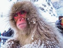 Parkerar ensam känsla för den japanska vintern för snöapasnö i den varma våren Onsen Jigokudan, Nakano, Japan Fotografering för Bildbyråer