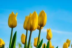 Parkerar gula tulpan för blommor i vår på en rabatt i, exponerat av aftonsolen, arkivfoto