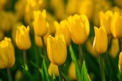 Parkerar gula tulpan för blommor i vår på en rabatt i, exponerat av aftonsolen, royaltyfri bild