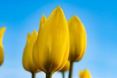 Parkerar gula tulpan för blommor i vår på en rabatt i, exponerat av aftonsolen, royaltyfria bilder