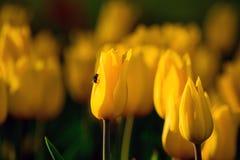 Parkerar gula tulpan för blommor i vår på en rabatt i, exponerat av aftonsolen, arkivbild