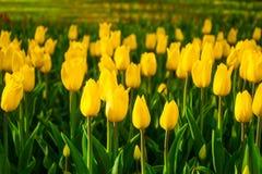 Parkerar gula tulpan för blommor i vår på en rabatt i, exponerat av aftonsolen, arkivfoton